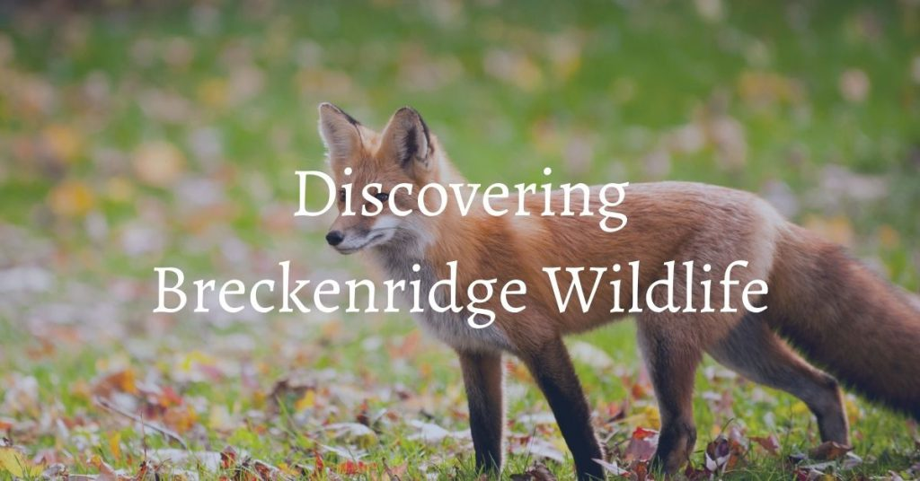 Wildlife in Breckenridge Colorado